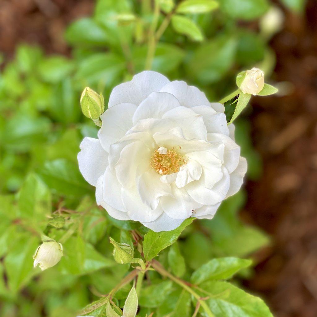 母の日薔薇